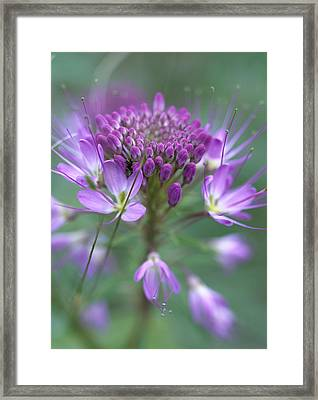 Rocky Mountain Bee Plant Cleome Framed Print