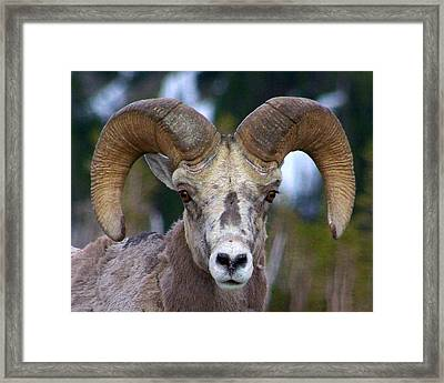 Rocky Mountain Bighorn Framed Print by Jack Moskovita