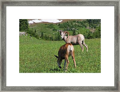 Rocky Mountain Bighorn Sheep Ram And Mule Deer Doe Glacier National Park Mt Framed Print by Christine Till
