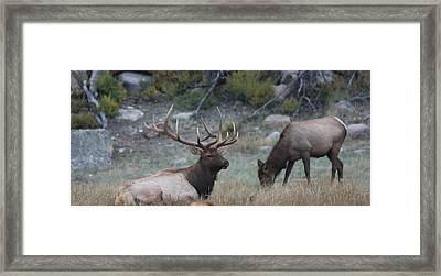 Rocky Mountain Bull Elk And Cow Framed Print by Doug Johnson