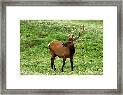 Framed Print featuring the photograph Rocky Mountain Elk 3 by Marie Leslie