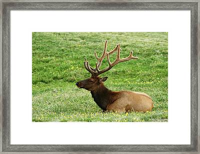 Framed Print featuring the photograph Rocky Mountain Elk 4 by Marie Leslie