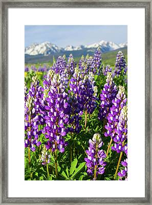 Rocky Mountain Lupines  Framed Print