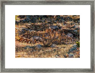 Rocky Mountain National Park Deer Colorado Framed Print
