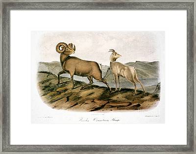 Rocky Mountain Sheep, 1846 Framed Print by Granger