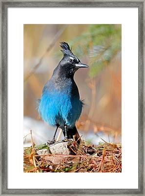 Rocky Mountain Steller's Jay Framed Print