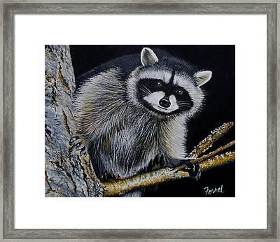 Rocky Raccoon Framed Print by Ferrel Cordle