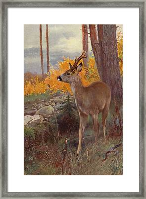 Roe Deer Framed Print by Wilhelm Kuhnert
