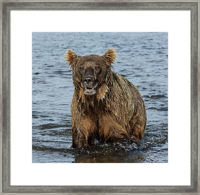 Framed Print featuring the photograph Rogue Bear  by Cheryl Strahl
