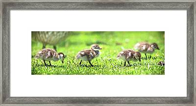 Framed Print featuring the photograph Rogue Duckling, Yanchep National Park by Dave Catley