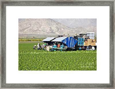 Romaine Lettuce Harvest Framed Print