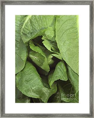 Romaine Lettuce Lactuca Sativa Framed Print by Gerard Lacz