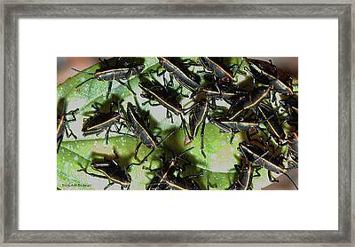Romalea Microptera Invasion Framed Print by DigiArt Diaries by Vicky B Fuller