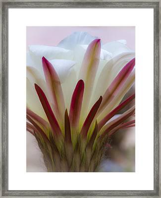 Romantic Cactus Flower Framed Print