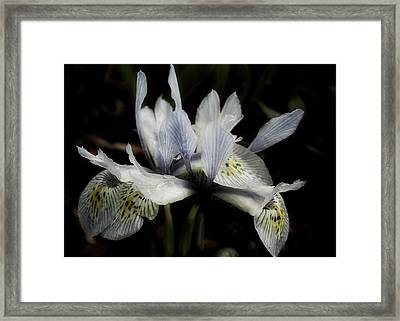 Romantic Dwarf Iris Framed Print by Richard Cummings