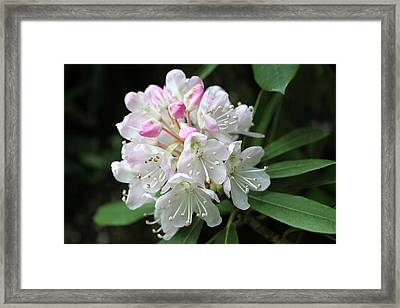 Romantic Rhododendron Framed Print by Lynne Guimond Sabean