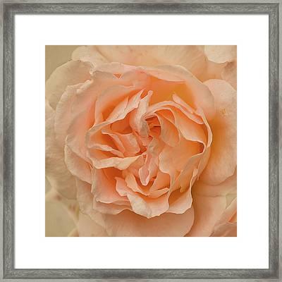 Romantic Rose Framed Print by Jacqi Elmslie