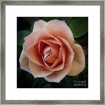 Romantic Rose Framed Print