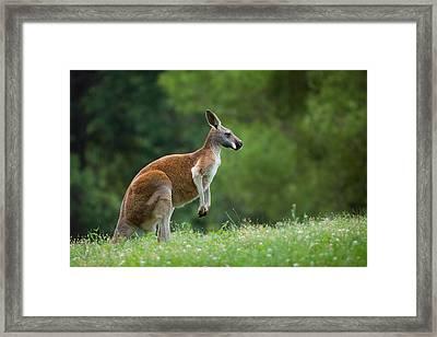 Roo Framed Print by Ryan Heffron