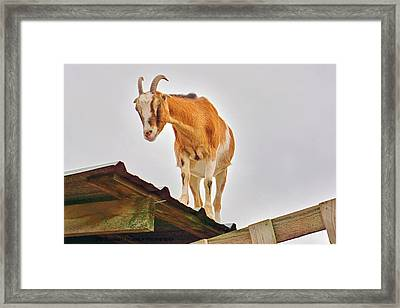 Rooftop Goat Framed Print by Deb Zulawski