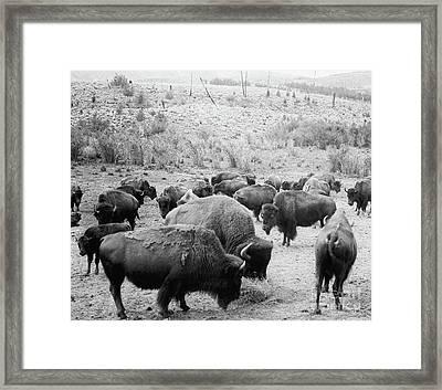 Roosevelt  King Of The Herd Framed Print by American School