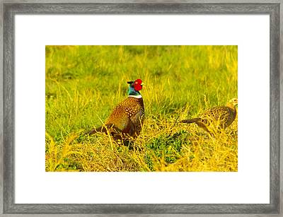 Rooster Pheasant With Girlfriend Framed Print
