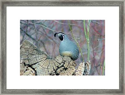 Rooster Quail  Framed Print by Jeff Swan