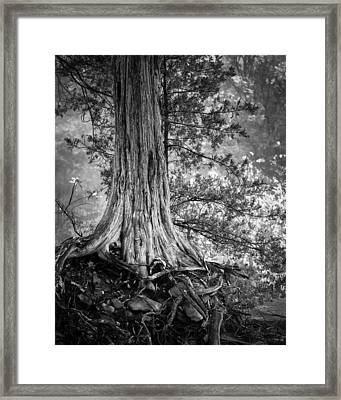 Rooted In Black And White Framed Print by James Barber