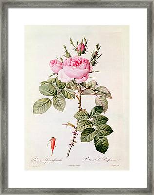 Rosa Bifera Officinalis Framed Print by Pierre Joseph Redoute