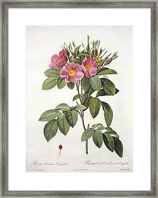Rosa Carolina Corymbosa Framed Print by Pierre Joseph Redoute