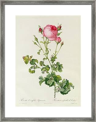 Rosa Centifolia Bipinnata Framed Print