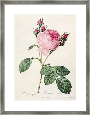 Rosa Centifolia Framed Print by Pierre Joseph Redoute