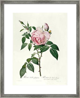 Rosa Chinensis And Rosa Gigantea Framed Print by Joseph Pierre Redoute