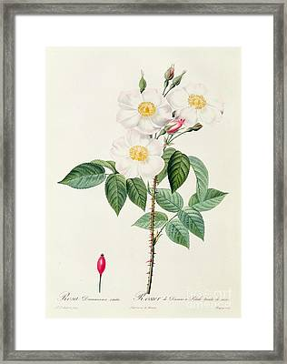 Rosa Damascena Subalba Framed Print