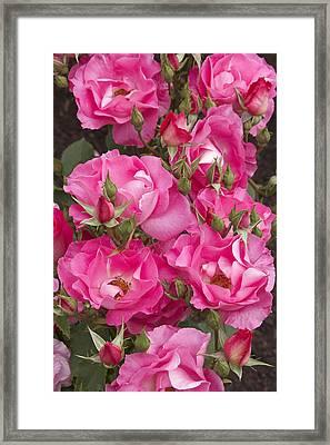 Rosa 'dancing Pink' Framed Print by Geoff Bryant
