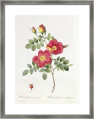 Rosa Eglantera Punicea Framed Print by Pierre Joseph Redoute
