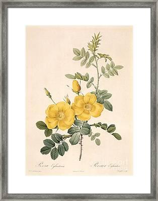 Rosa Eglanteria Framed Print