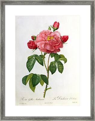 Rosa Gallica Aurelianensis Framed Print by Pierre Joseph Redoute