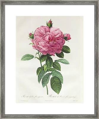Rosa Gallica Flore Giganteo Framed Print by Pierre Joseph Redoute