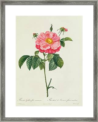 Rosa Gallica Flore Marmoreo Framed Print by Pierre Joseph Redoute