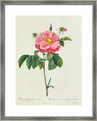 Rosa Gallica Flore Marmoreo Framed Print