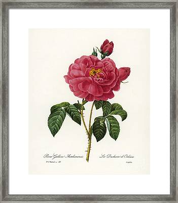 Rosa Gallica Framed Print by Granger