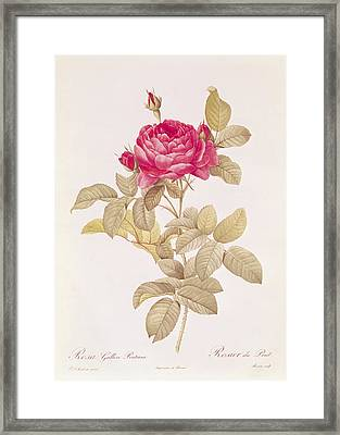 Rosa Gallica Pontiana Framed Print by Pierre Joseph Redoute