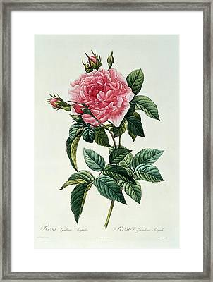 Rosa Gallica Regalis Framed Print by Pierre Joseph Redoute