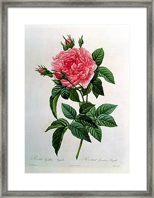 Rosa Gallica Regallis Framed Print by Pierre Joseph Redoute