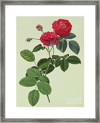 Rosa Holoferica Multiplex Framed Print by Georg Dionysius Ehret