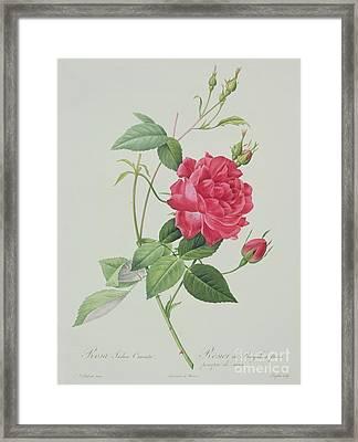 Rosa Indica Cruenta Framed Print by Pierre Joseph Redoute