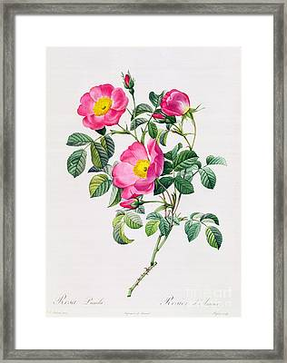 Rosa Lumila Framed Print by Pierre Joseph Redoute