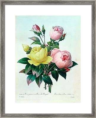Rosa Lutea And Rosa Indica Framed Print by Pierre Joseph Redoute