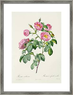 Rosa Mollissima Framed Print by Claude Antoine Thory